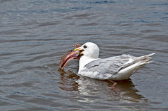 Seagull Eating Huge Fish in Water Royalty Free Stock Photo