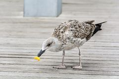 Seagull eating junk food on the street. Seagull eating with a beak  junk food Royalty Free Stock Photo