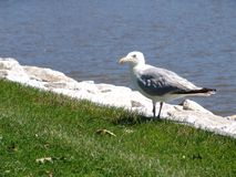 Seagull eating lunch Royalty Free Stock Photo