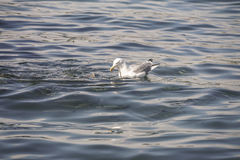 A seagull eating a piece of bread Royalty Free Stock Photo