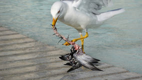 Seagull eating. A pigeon in the city Stock Images