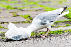 Seagull eating from plastic bag. Royalty Free Stock Photos