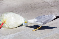 Seagull eating from  plastic bag on the street Royalty Free Stock Image