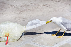 Seagull eating from  plastic bag on the street Royalty Free Stock Photo