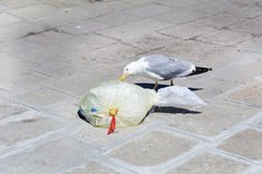 Seagull eating from  plastic bag on the street Royalty Free Stock Photos