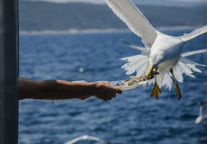 Seagull eating from a plate Royalty Free Stock Image
