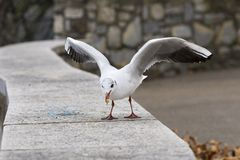 A seagull eating some bread. At the edge of Lugano lake stock photos