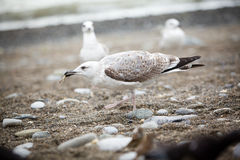 Seagull eating something on the pebble beach Stock Photography