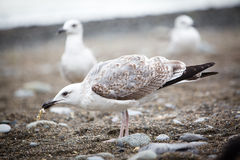 Seagull eating something on the pebble beach. White seagull eating something on the pebble beach stock photo