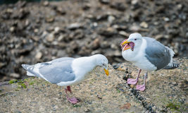 Seagull eating star fish Stock Photography
