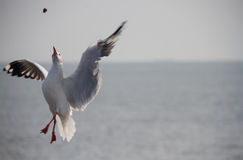 Seagull. Eating  victim on sky Stock Photography