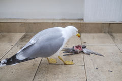 Seagull eats bird 2. Hungry seagull eats bird on the balcony Stock Photography