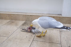 Seagull eats bird 3. Hungry seagull eats bird on the balcony Royalty Free Stock Images