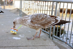 A Seagull Eats Leftover Ice Cream Out Of A Cup Royalty Free Stock Images