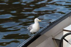 Seagull on the edge of a boat royalty free stock photos