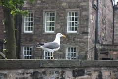 A seagull in the Edinburgh Castle. A seagull standing at the wall of the Edinburgh Castle Stock Images
