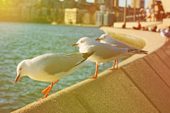 Seagull and effect vintage light soft and blure . Photo Seagull and effect vintage light soft and blur Royalty Free Stock Photography