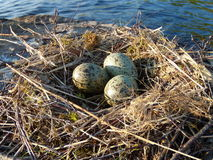 Seagull eggs. Placed on the lake rock Stock Photography