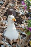 Seagull on eggs Stock Photo