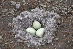 Seagull Eggs In Nest Royalty Free Stock Photo