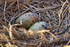 Seagull eggs. Some soon to hatch seagull eggs Royalty Free Stock Images