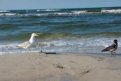 Seagull en alika med en garfish på stranden arkivbild