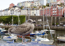 Seagull in English sea town Stock Images