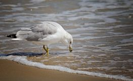 Seagull enjoying an afternoon snack stock photography