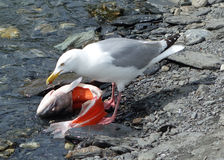 A seagull enjoying alaskan salmon Stock Photos