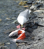 A seagull enjoying alaskan salmon Stock Images