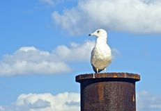 Seagull enjoying the day sitting on a pylon Royalty Free Stock Images