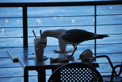 Seagull enjoying leftover dessert Royalty Free Stock Photos