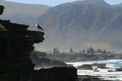 Seagull enjoying the view of Hermanus Royalty Free Stock Images