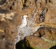Seagull enjoys splashes of waves Royalty Free Stock Images