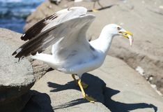 Seagull with entrapment fish Royalty Free Stock Photography