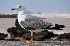 Seagull. A seagull in Essaouira bay,Morocco Royalty Free Stock Photography