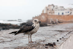 Seagull in Essaouira, Morocco Stock Photography