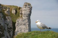 Seagull with Etretat Aval cliffs in the background Stock Photography