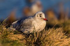Seagull in the evening sun royalty free stock photo