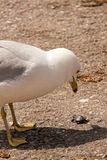 Seagull eyeing a snack Royalty Free Stock Image