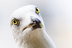 Seagull eyes Stock Images
