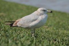 Seagull för Thayer ` s Royaltyfri Bild