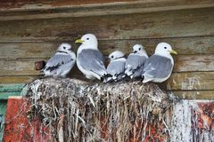 Seagull family - Black-legged Kittiwake. Rissa tridactyla royalty free stock image