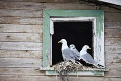 Seagull  family - Black-legged Kittiwake Stock Photos