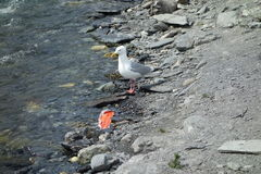 A seagull feasting on a salmon Royalty Free Stock Images