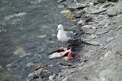 A seagull feasting on a salmon Stock Photography
