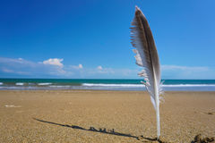 Seagull feather on the beach. Royalty Free Stock Images