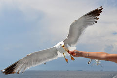 Seagull at feeding Royalty Free Stock Image