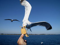 Seagull feeding. Very friendly seagull takes cooky from man's hand Stock Photo