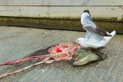 Seagull Feeding Stock Photos